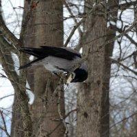 мартовская ворона с трофеем :: sv.kaschuk