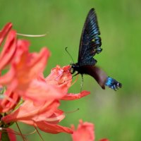 Рододендрон и бабочка :: Елена Буслаева