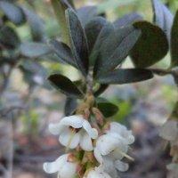 Брусника, цветок :: Виктория (Чечевика) Шатровская