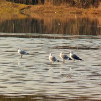 чайки стоят на замёрзшей ряби :: Александр Прокудин