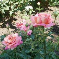 Розы :: Марина Чайкина