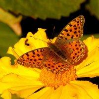и снова бабочки...2 :: Александр Прокудин