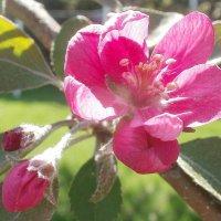Яблоневый цвет :: Марина Чайкина