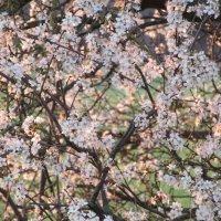 ....сады цветут... :: Mariya laimite