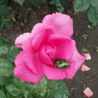 Жук и роза :: Марина Чайкина