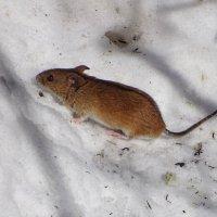 Мышка :: Константин Ординарцев