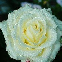 белая роза :: Александр
