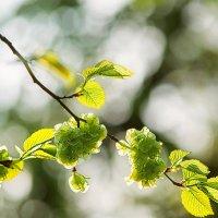 Немного весенней зелени. Соскучилась душа. :: Оксана Ильченко