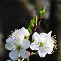 Апрель (цветы и листья). :: Dad