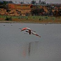 Фламинго :: Jakob Gardok