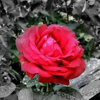 Роза :: Vlad Сергиевич