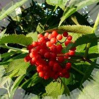 Красная бузина :: Лидия Бараблина