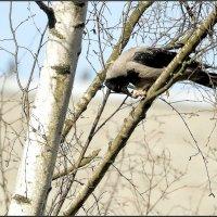 Ворона что-то...где-то.... :: Сергей Гончаров