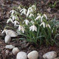 Первые весенние цветы :: Маргарита Батырева
