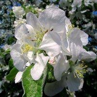 Белоснежные цветы :: Сергей Карачин