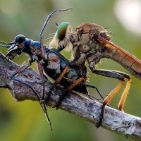 Robber Fly vs Tiger Beetle :: ian 35AWARDS