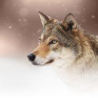 Волчица :: олег