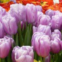 Тюльпаны в сиреневых тонах :: Татьяна Лобанова