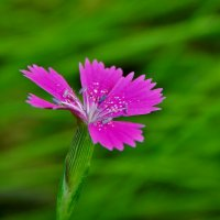 Маленькая дикая гвоздика в поле :: Валентина Пирогова