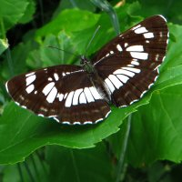 Пеструшка таволговая Neptis rivularis :: vodonos241
