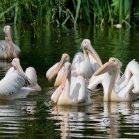 Пеликаны :: Александр Григорьев