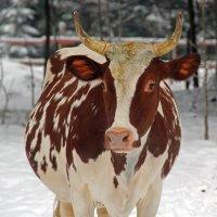 Корова на снегу :: skijumper Иванов
