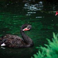 Чёрный лебедь на пруду... :: Игорь Осипенко