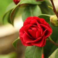 Роза? Не роза... А что за цветок? :: Светлана