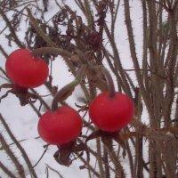 Зимняя ягода :: Svetlana Lyaxovich