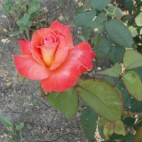 Лососевая роза :: Марина Чайкина