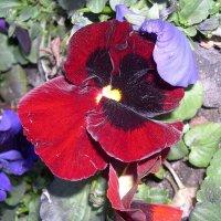 Viola tricolor 11 :: Андрей Lactarius