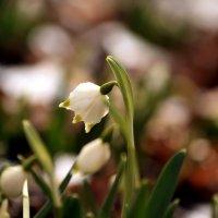 Звоночек весны :: Lusi Almaz