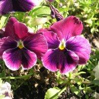 Viola tricolor 20 :: Андрей Lactarius