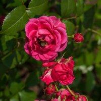 Розы и шмель :: GALINA
