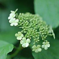 Цветы калины :: Нина Кутина