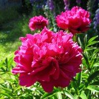 Пион китайский (молочноцветковый) «Карл Розенфельд» / Paeonia lactiflora Karl Rosenfield :: lenrouz