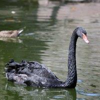 Чёрный лебедь. :: Евгений М