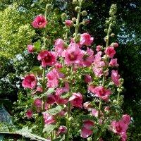 Розовое лето в палисаде... :: Лидия Бараблина