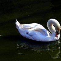Белый лебедь :: Татьяна Ларионова