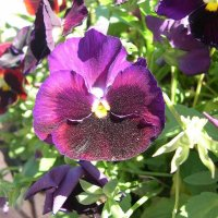 Viola tricolor 26 :: Андрей Lactarius