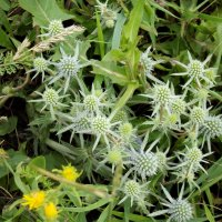 Полевые цветы Алтайского края :: Светлана Рябова-Шатунова
