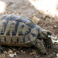 Черепаха. :: Aleks Ben Israel