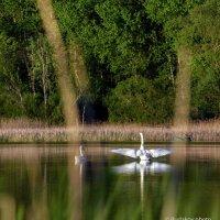 Лебеди на Медном :: Сергей