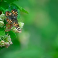Бабочка на цветке смородины :: Anna Selezneva