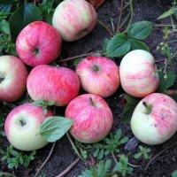 Эх яблочки!) :: Владимир