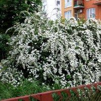 Как невеста в белых кружевах :: Татьяна Смоляниченко