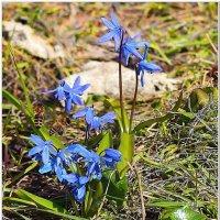 Первые цветы :: Евгений Кочуров