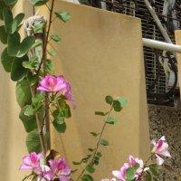 Цветет юная розовая баухиния :: Герович Лилия