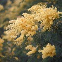 Мимоза - символ весны :: Евгения Турушева