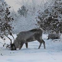 Северные олени :: Екатерина Торганская